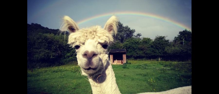 An alpaca under a rainbow