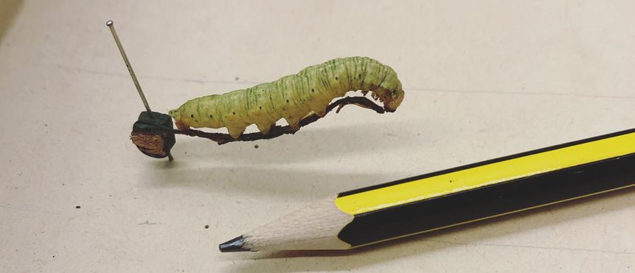 a caterpillar and a pencil