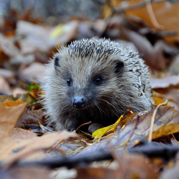 Hedgehog walking across fallen leaves