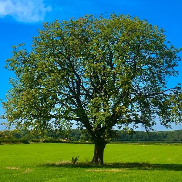 Oak tree in the middle of a field
